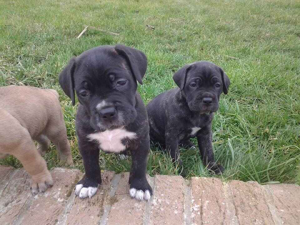 Chiot Canne Corso