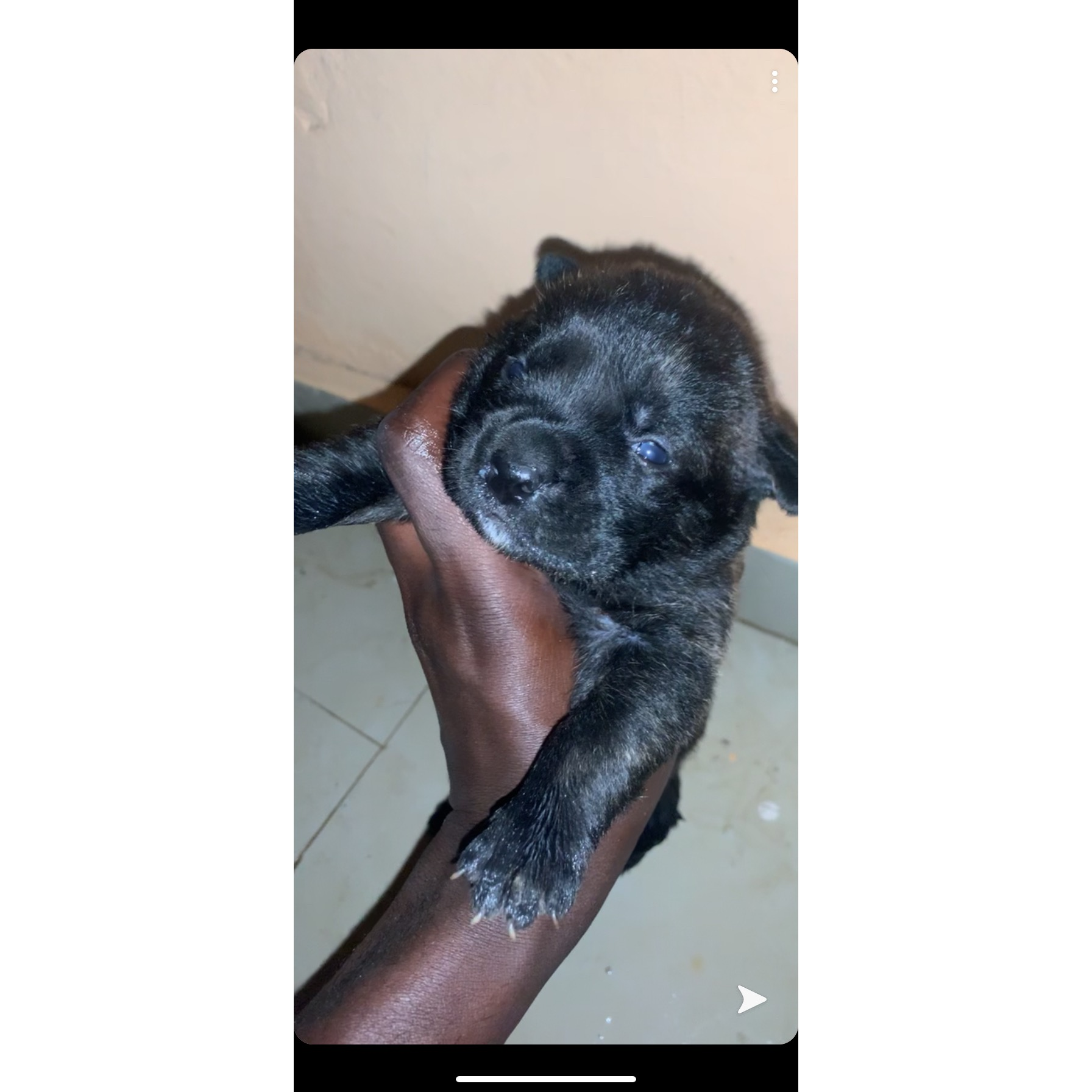 Vends chiot Can corso
